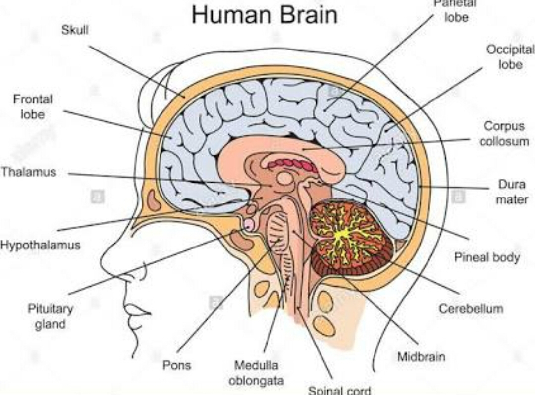 Explain The Structure Human Brain With A Labelled Diagram
