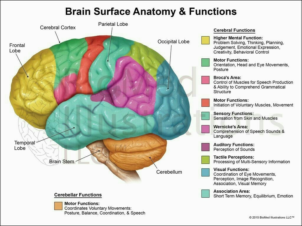 Draw Neat Labelled Diagram Of Functional Areas Of Human Brain