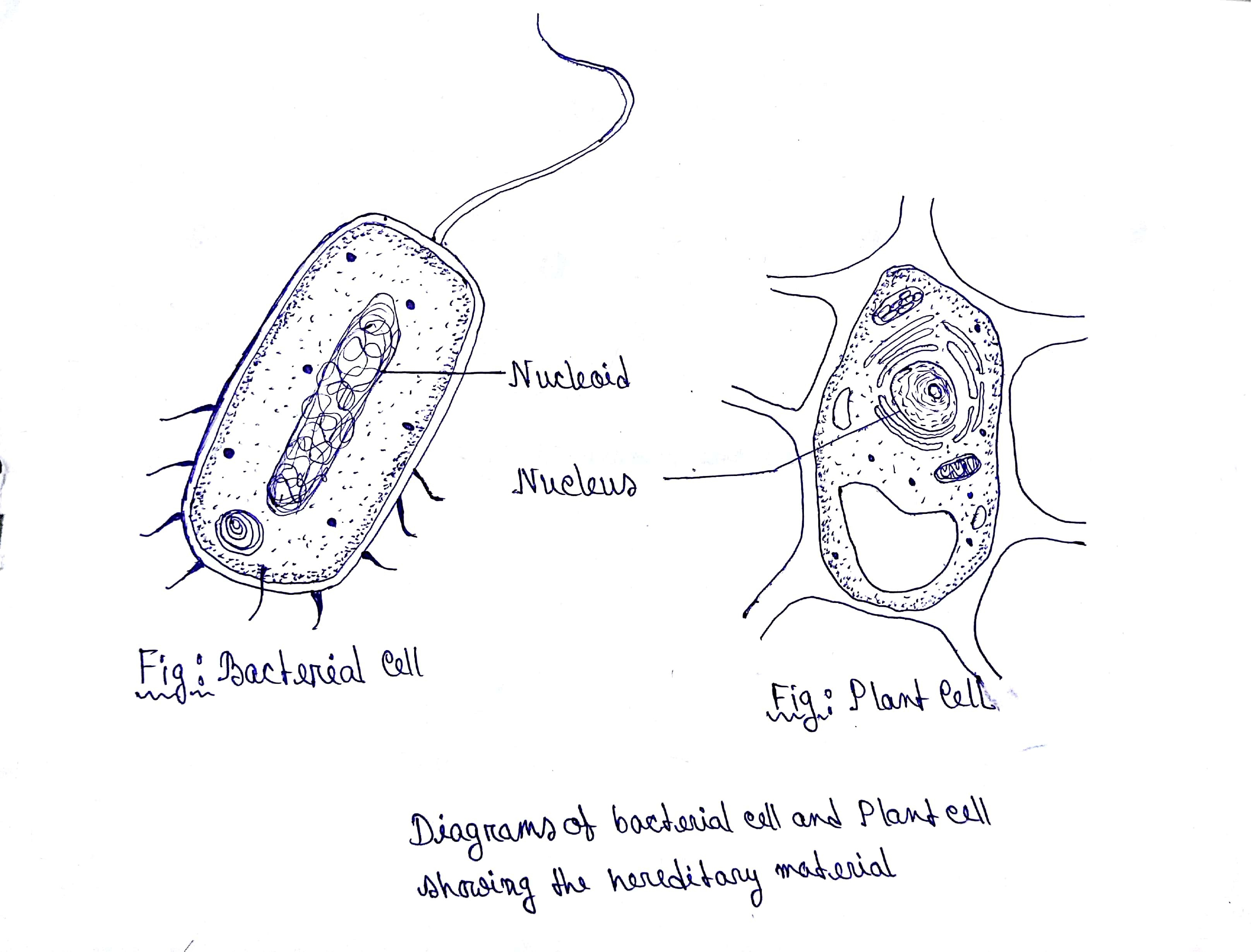 Draw Outline Diagrams Of A Bacterial Cell And A Plant Cell