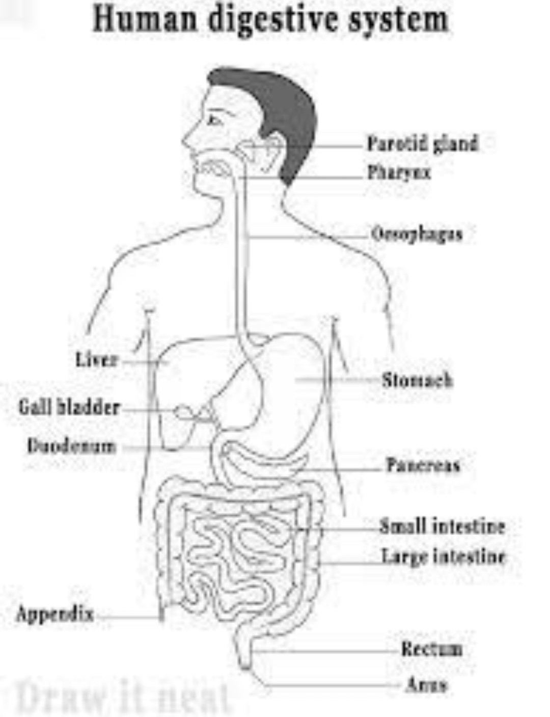 Digestive System Labeling Diagram