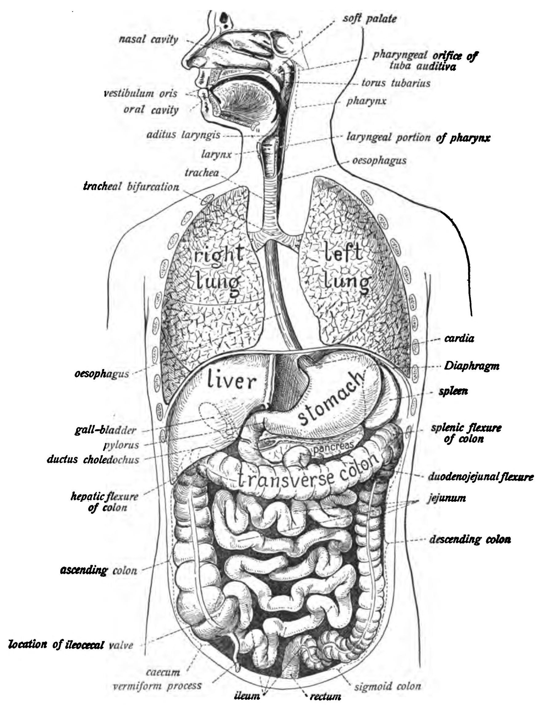 Describe The Human Digestive System With Diagram