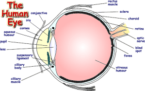 Draw a labeled diagram of human eye Write the functions