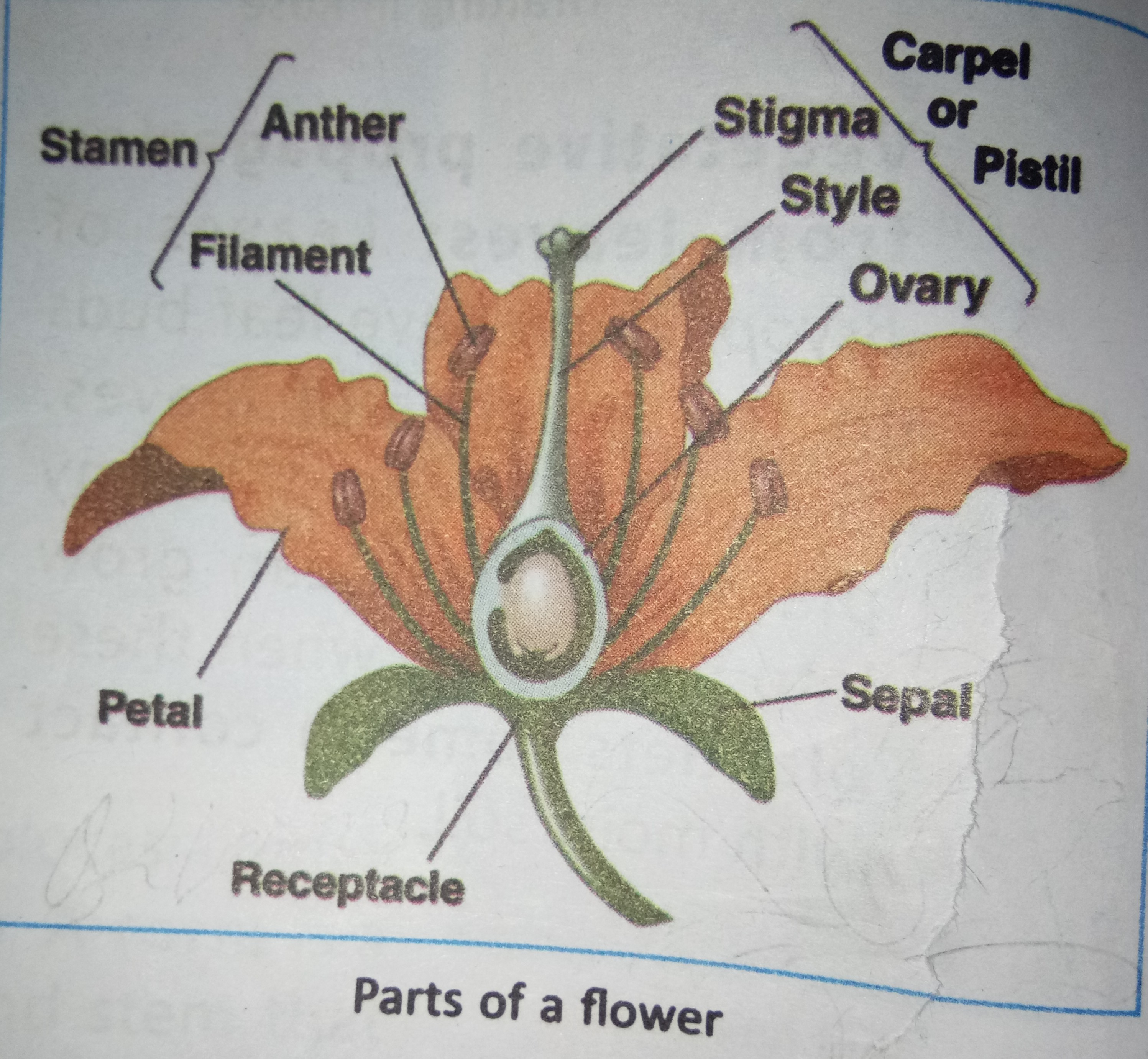 Draw A Labelled Diagram Of A Flower And Describe Its