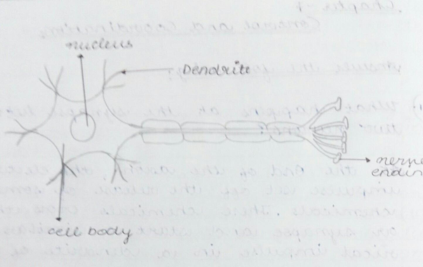 Is This The Correct Figure Of An Neuron