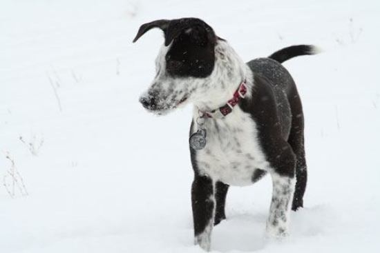 border collie lab mix Size & Appearance