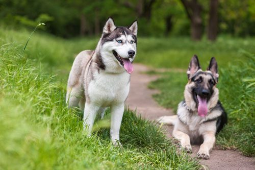 german shepherd husky mix Common Characteristics