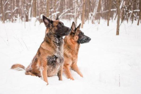 Belgian Malinois vs German Shepherd Health Issues