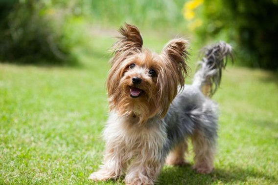 Yorkshire Terrier-Low Maintenance Dogs