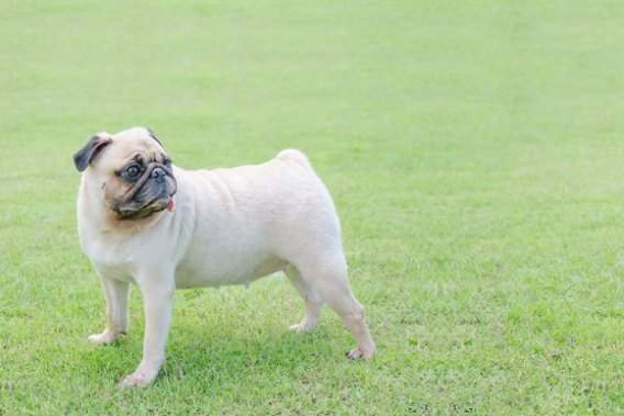 Sweet Pugs-Low Maintenance Dogs