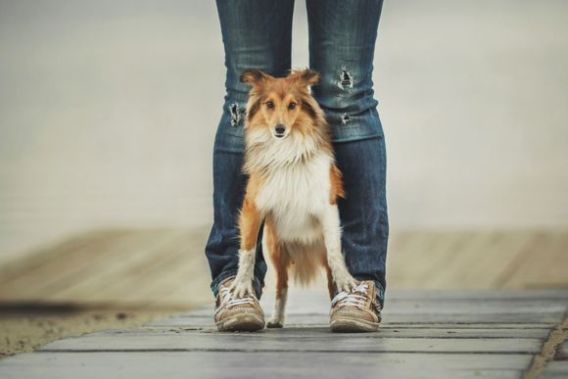 Shelties  Loyal Dog Breeds