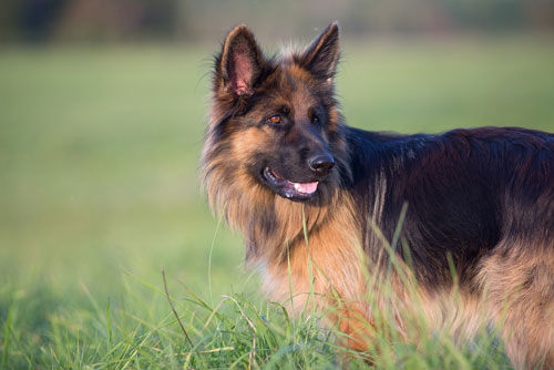 long haired german shepherd come In All Colors & Patterns