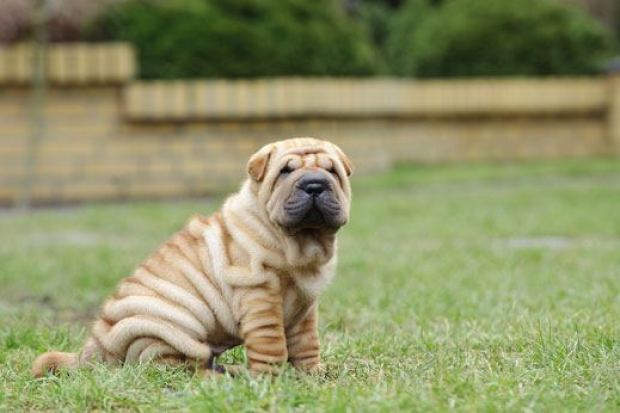 Shar-pei Dogs That Can Be Left Alone