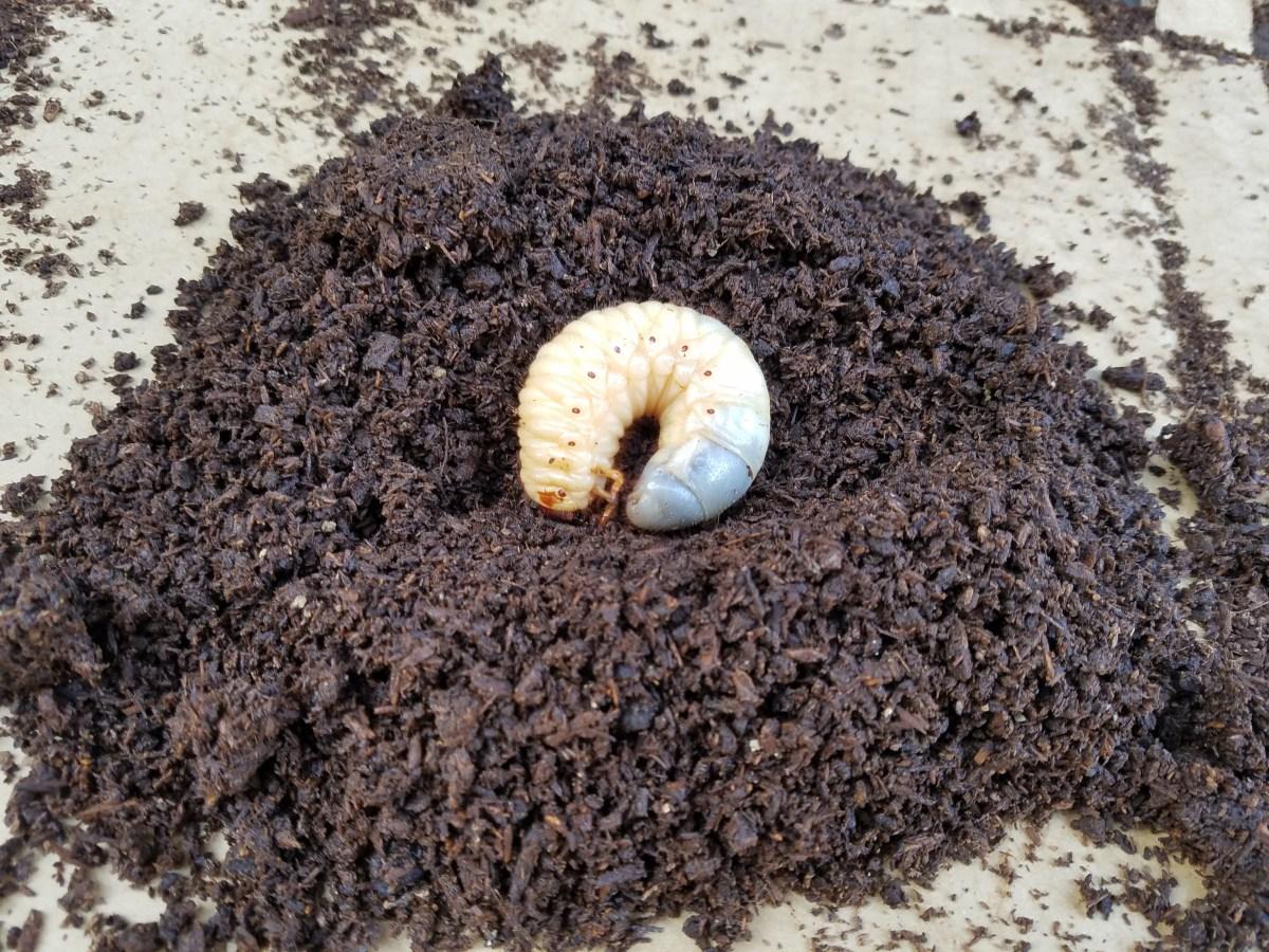 カブトムシの幼虫が土の上に出てくる時の対処法を分かりやすくご紹介