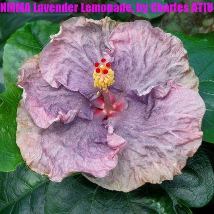 NMMA Lavender Lemonade
