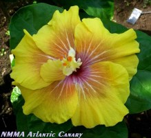 31-NMMA Atlantic Canary