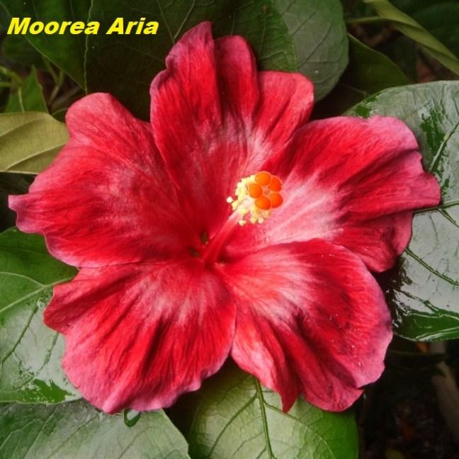 1Moorea Aria