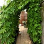 マンションでできる簡単なグリーンカーテン!注意と台風対策も