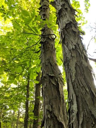 Shagbark hickory trees