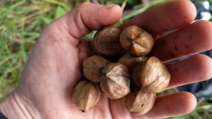 A Handful of Hickory Nuts