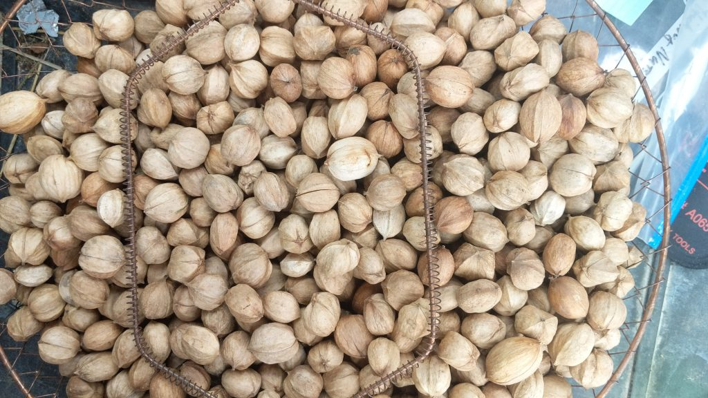 Hickory Nuts in a Basket