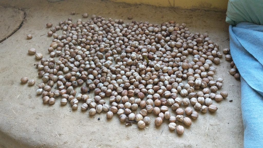 Hickory Nuts