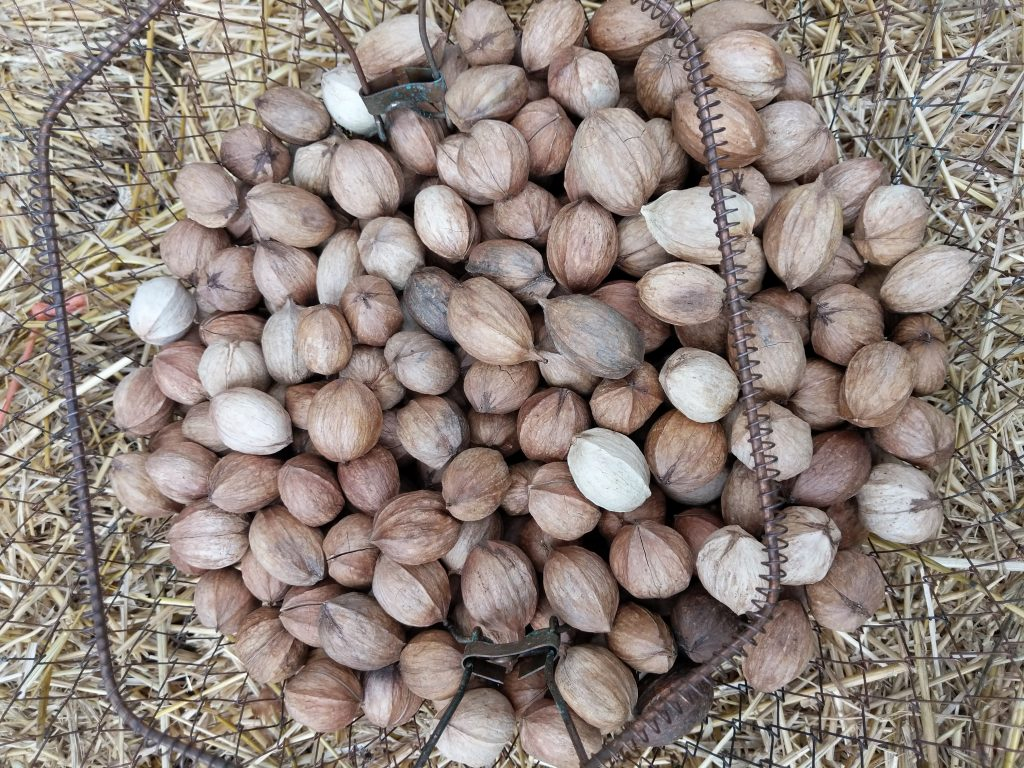 shellbark hickory nuts in wire basket