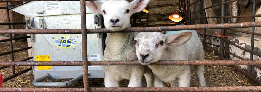 Lamb feeding!