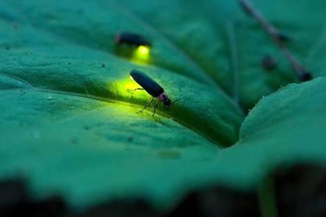 Kunang-kunang Menabuh Rebana