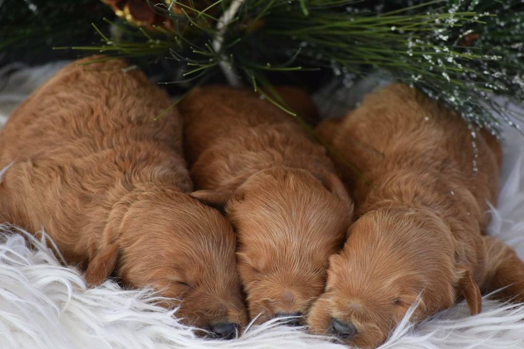 Latest Puppies