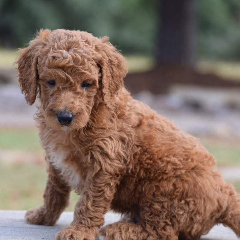 Goldendoodle in Texas sitting on table at Hidden Acres Puppies