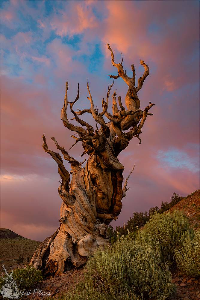 Ancient Bristlecone Forest