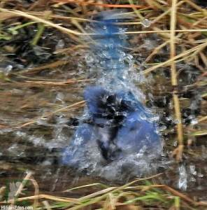 blue jay splashing in water