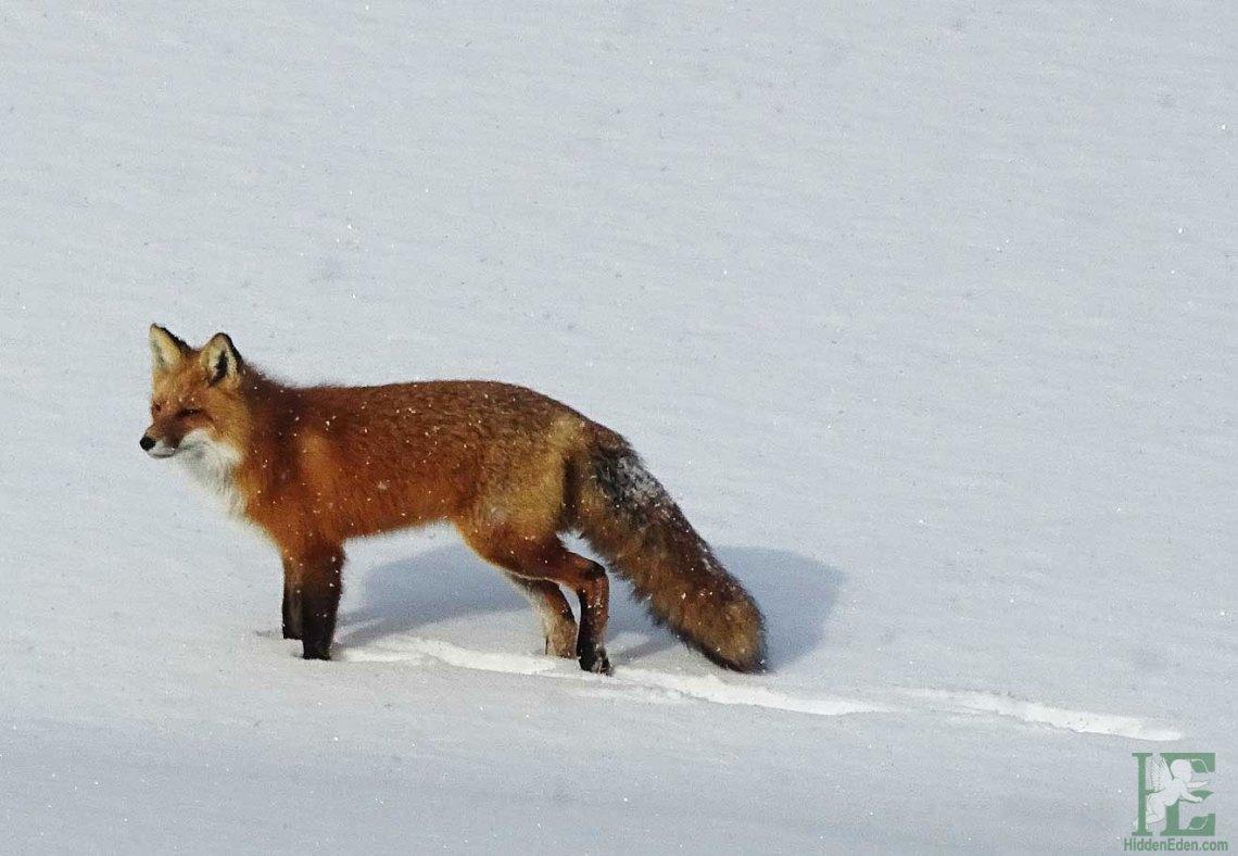 Winter in Muskoka - red fox in the snow