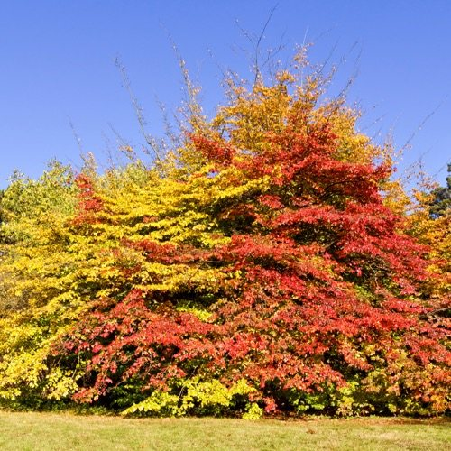 Persian Ironwood (Parrotia persica)