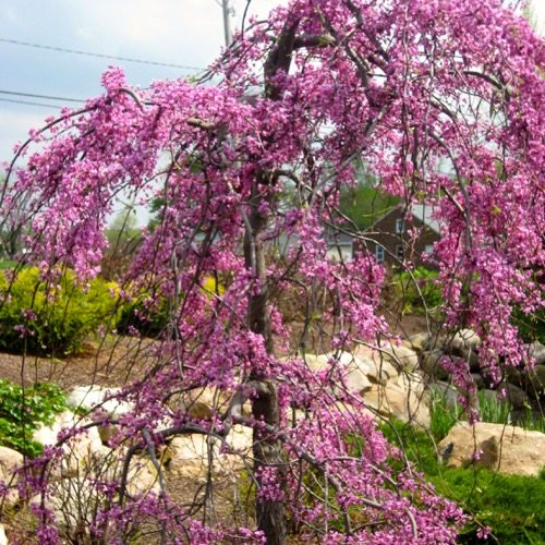 Weeping Purple (Redbud)