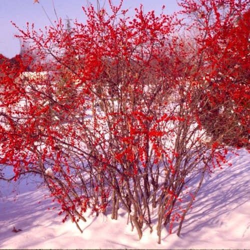 Winterberry Red Sprite (Ilex verticillata)