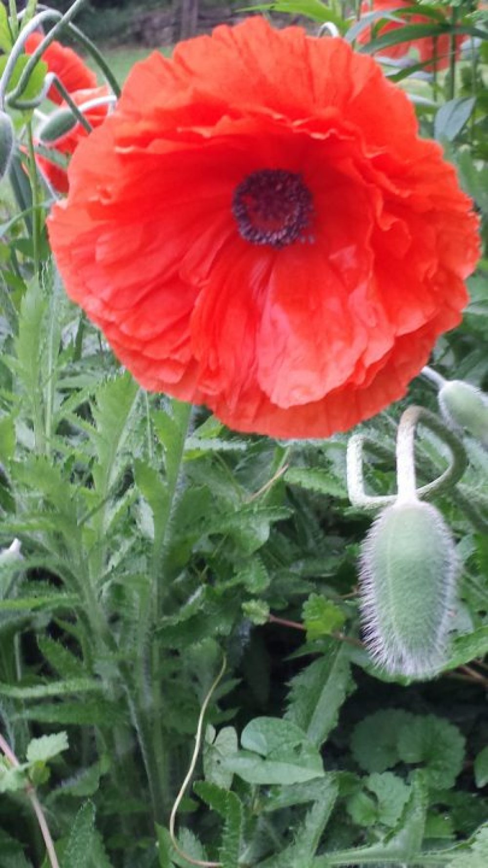 Of War and Poppy Remembrance 3
