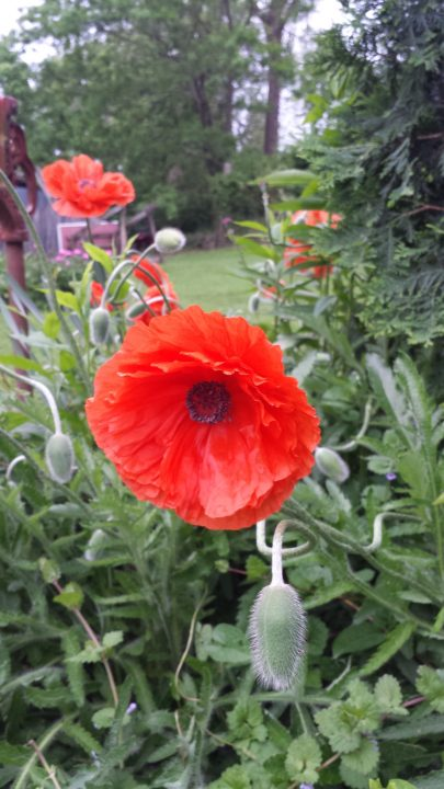 Of War and Poppy Remembrance