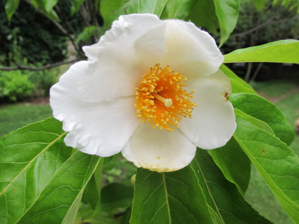 Franklinia Tree Flower