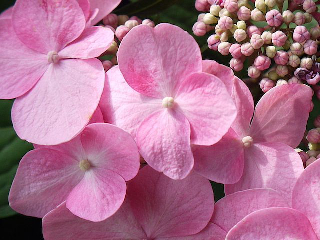 Twist-and-Shout-Hydrangea-Homepage-Image_640x480