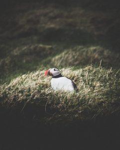 Icelandic Puffin | Hidden Iceland