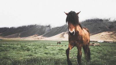 Icelandic Horse in West Iceland | Hidden Iceland | Photo by Norris Niman