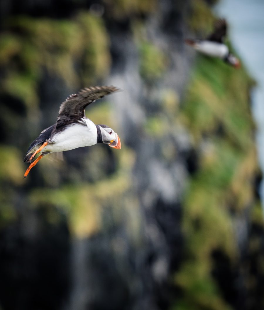 Puffins | Hidden Iceland | Photo by Marcus Hoey