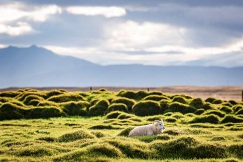 Icelandic Sheep | Hidden Iceland | Photo Wilderness Centre