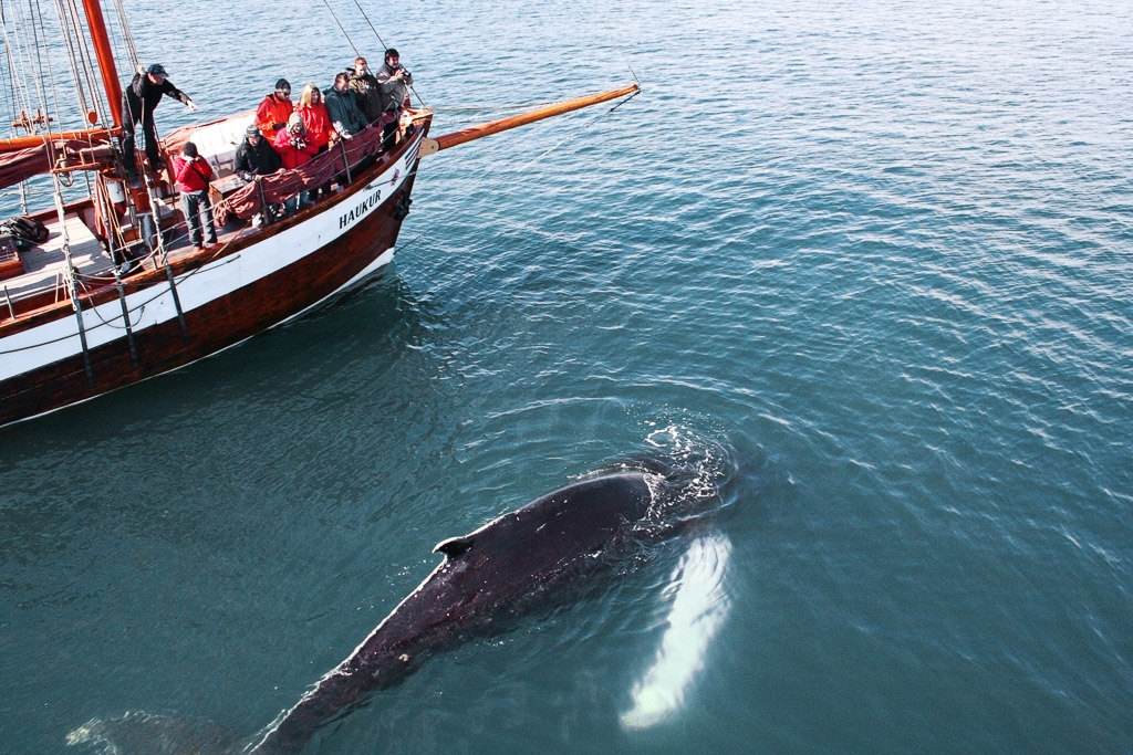 Humpback Close Up Whale Watching | Hidden Iceland | Photo North Sailing