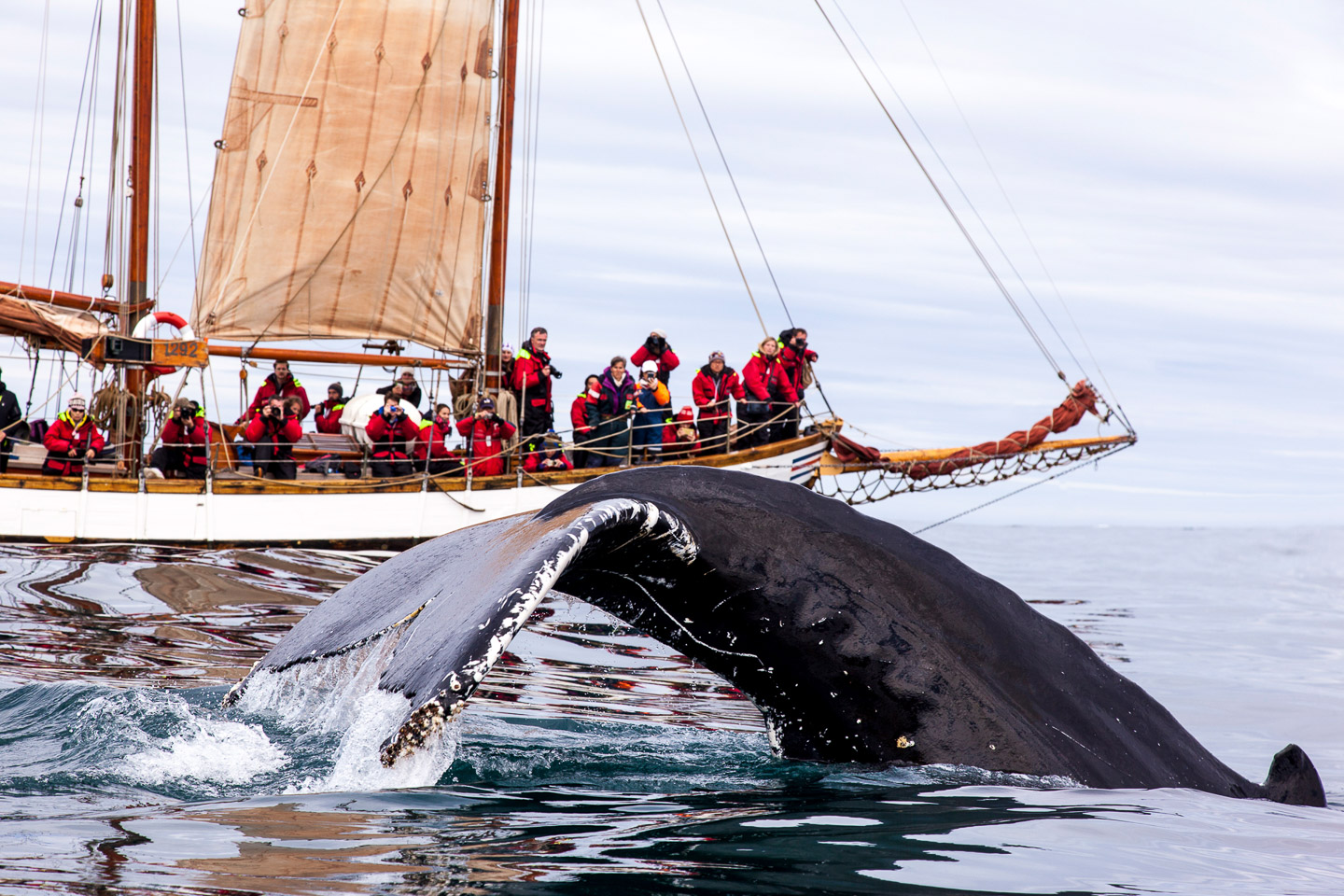 Whale Close Up | Hidden Iceland | Photo North Sailing - Featured