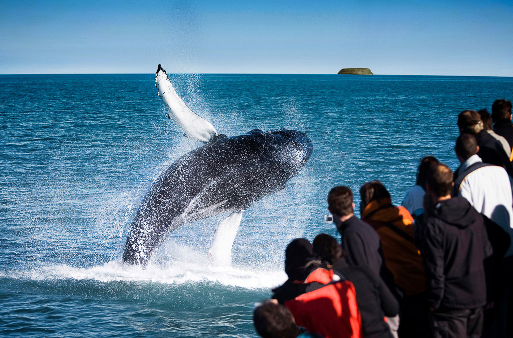 Whale Watching Breach | Hidden Iceland | Photo North Sailing