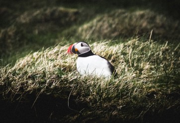 Puffin. Hidden Iceland. Photo by Norris Niman. Feature