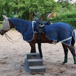 Bay Trakehner mare about to work