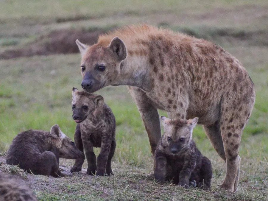 Hyenas in the Wild